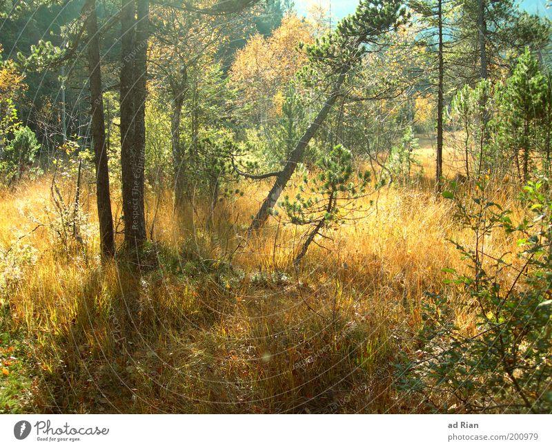 güldene Zeit Natur Pflanze Sonnenlicht Herbst Baum Gras Sträucher Wald Sumpf Blühend dehydrieren heiß natürlich trocken ruhig unberührt Idylle stagnierend