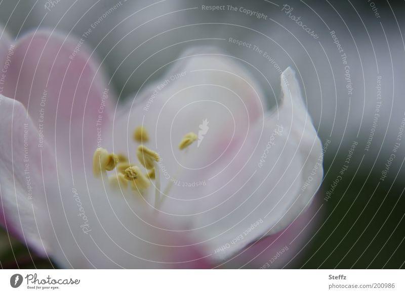 sanfte Apfelblüte Blüte rosa grau Frühlingsblüte Frühlingsfarbe dezent zart grauweiß harmonisch Frühlingsbild hell fein natürlich Mai blühende Blume