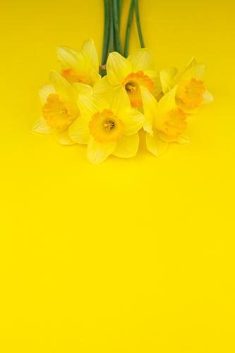 #AS# Ostergelb I Blume Blüte Frühling Kunst ästhetisch Ostern viele Blumenstrauß Frühlingsblume Osternest Narzissen Frühlingsfarbe Osterwunsch Frühlingsfest