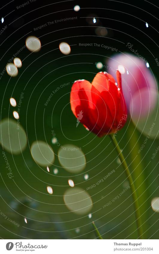 Tulpe und der Regen Natur Wasser schön Blume grün Pflanze rot Blüte Frühling Garten Regen rosa Wassertropfen nass Tropfen Klima