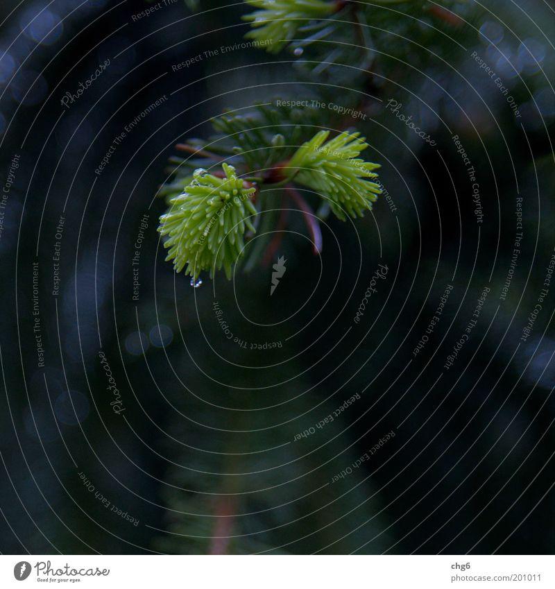 Morgentau Natur Baum grün Pflanze Frühling grau Kraft frisch Wachstum Tanne Tau Zweig Grünpflanze Tannennadel Naturwuchs