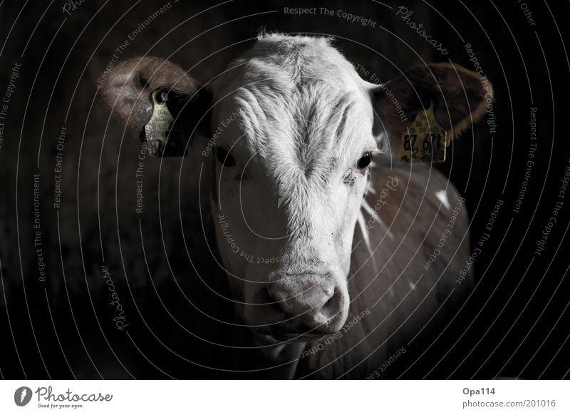 Kälbchen weiß schwarz Tier Kopf Ohr Ziffern & Zahlen Fell Landwirtschaft Stall Kalb Nutztier Viehzucht