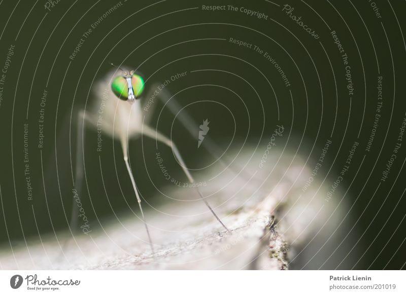 Alien Natur hocken Stechmücke grün Außerirdischer Baum Ast Fühler lang ästhetisch lustig beeindruckend beängstigend Tiergesicht klein Insekt Farbfoto