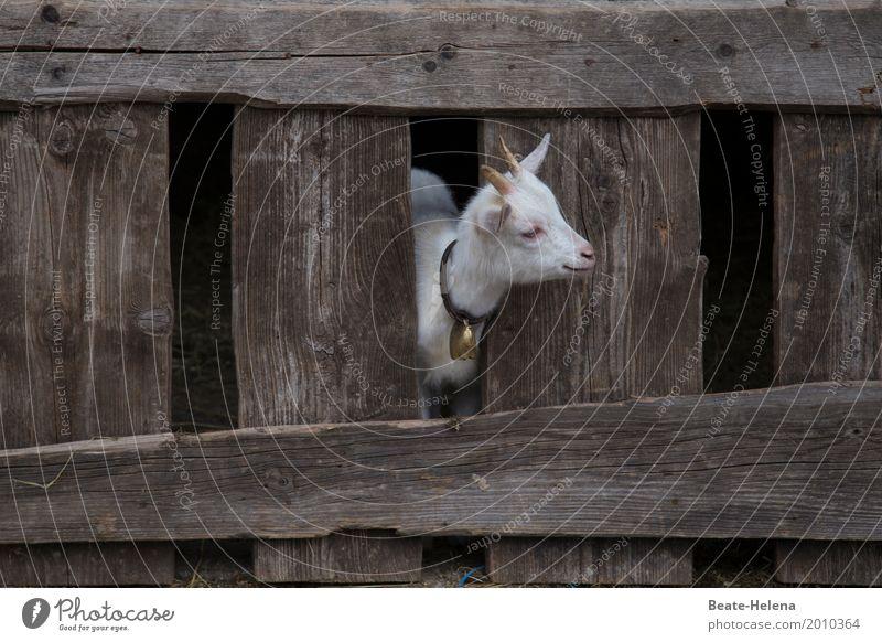 Ja, wo bleibt denn der Sommer? Gebäude Balkon Stall Tier Nutztier Ziegen Zicklein Tierjunges beobachten Denken entdecken Blick warten Freundlichkeit