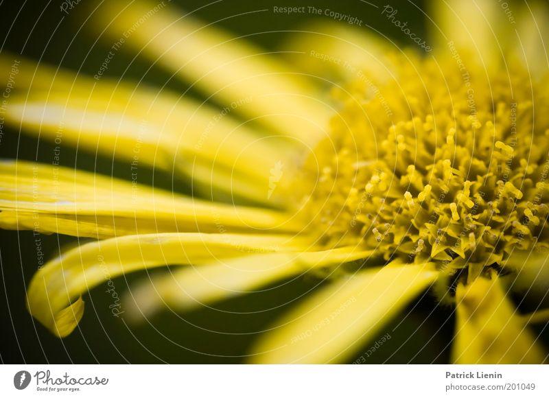 Sommerblüte schön Blume Pflanze gelb Wiese Wärme Zufriedenheit Fröhlichkeit nah leuchten Freundlichkeit Leichtigkeit Blütenblatt intensiv