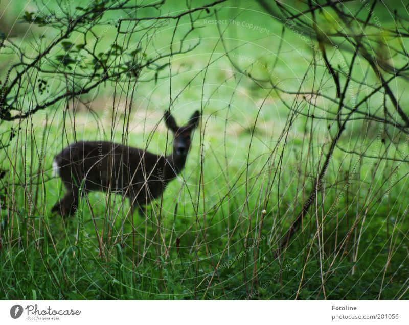 Kein gutes Versteck Natur grün Pflanze Tier Wald Garten Park Landschaft braun Umwelt frei Sträucher dünn Fell Wildtier Reh