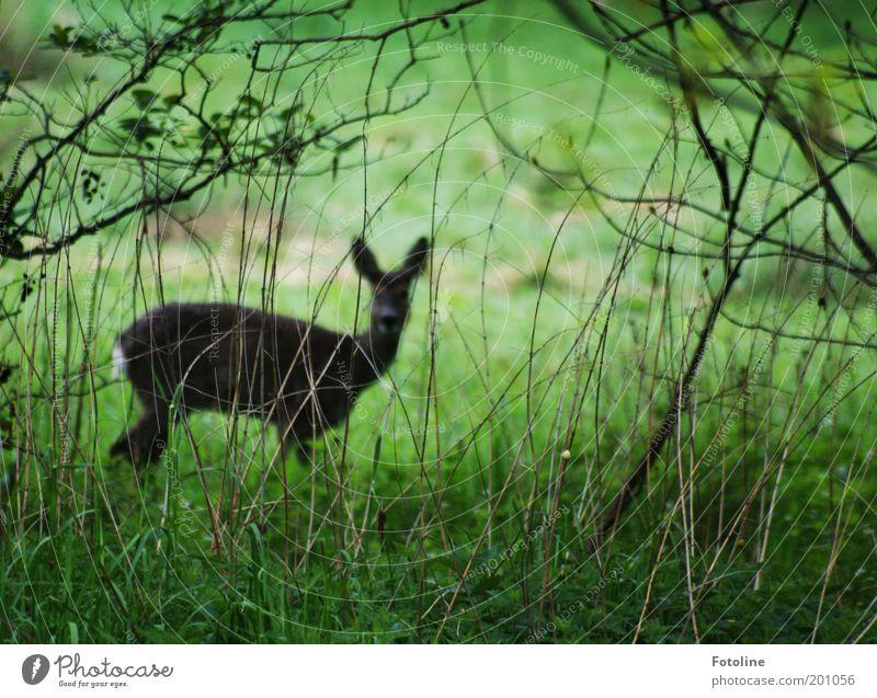 Kein gutes Versteck Umwelt Natur Landschaft Pflanze Tier Sträucher Garten Park Wald Wildtier Fell 1 Blick frei dünn braun grün Reh Farbfoto Gedeckte Farben