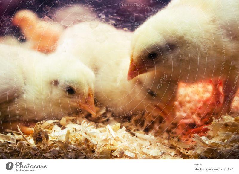 Was wird denn hier ausgebrütet? Tier gelb Tierjunges Wärme Glück klein Feste & Feiern Vogel frisch Beginn niedlich weich Schutz neu Suche tierisch