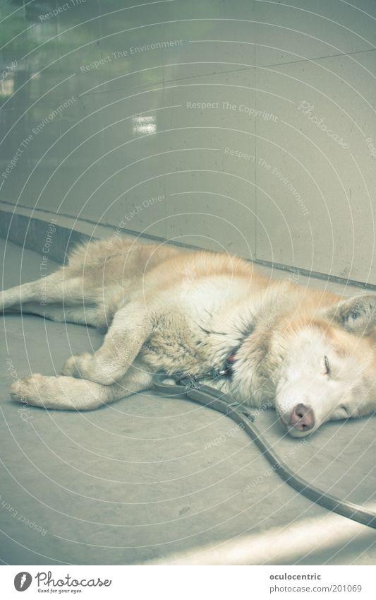 come on nelson alt Tier Erholung träumen Hund hell schlafen Klima heiß kuschlig Hinterhof kupfer Tierporträt Schlittenhund Halbschlaf