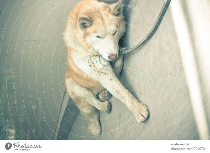 All In alt blau Sommer Tier Hund liegen Ohr weich Asphalt leuchten Müdigkeit Wachsamkeit Risiko bleich Hinterhof gefangen