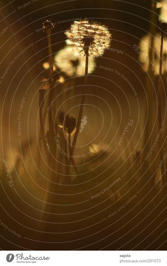 pusteblumentraum Natur Blume Pflanze Wiese Frühling braun Umwelt gold ästhetisch Wandel & Veränderung Vergänglichkeit leuchten Löwenzahn Hochformat Wildpflanze