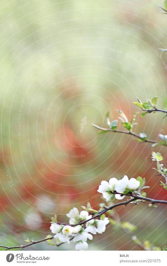 Es Kirscht so rot[LUsertreffen 04|10] Natur Pflanze schön grün weiß Sommer Umwelt Frühling Blüte Wachstum leuchten Sträucher Blühend Romantik rein