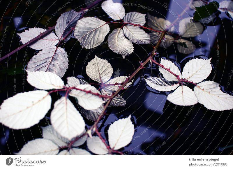 Rosenwasser Umwelt Natur Pflanze Wasser Blatt Wildpflanze nass natürlich stachelig wild kalt Schwäche Vergänglichkeit Wandel & Veränderung Dorn Brombeerblätter