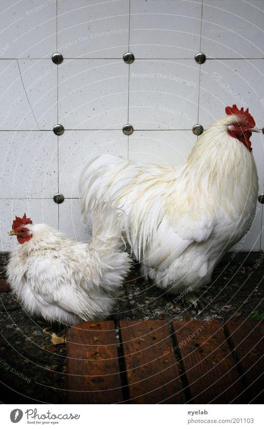 Meine Oma fährt im Hühnerstall Motorad Tier Haustier Nutztier Vogel Tiergesicht Flügel 2 Tierpaar Tierjunges Tierfamilie lecker rot weiß Haushuhn Ei Paletten