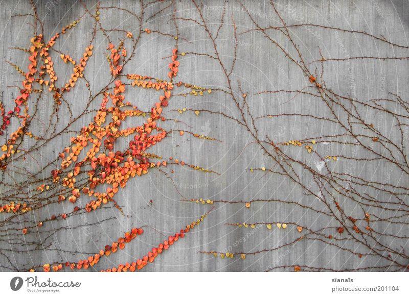 networking Pflanze kalt Wand Herbst Umwelt Bewegung Mauer orange Wachstum Netzwerk trist Wandel & Veränderung einzigartig Kommunizieren Klettern Symbole & Metaphern