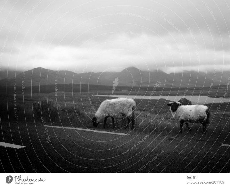 scharfe schafe Wasser ruhig Wolken Einsamkeit Tier Ferne Straße Wiese Berge u. Gebirge Traurigkeit See Landschaft Nebel trist stehen Sträucher