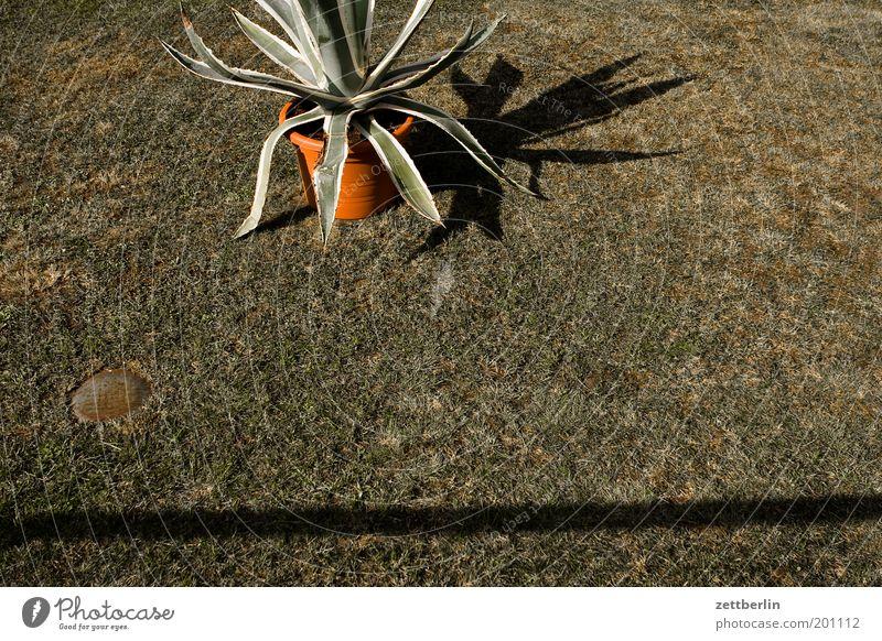 Kaktus ohne Aufschrift Aloe Pflanze Palme Vorgarten Gras Rasen Sportrasen Wiese Topf Blumentopf Topfpflanze Schatten Häusliches Leben Garten Linie