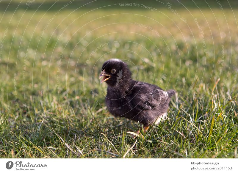Young black chicken on a meadow outdoor Tier Nutztier Haushuhn Küken 1 Tierjunges schwarz ducks Easter animals farm farm animals farming newborn animal breeding