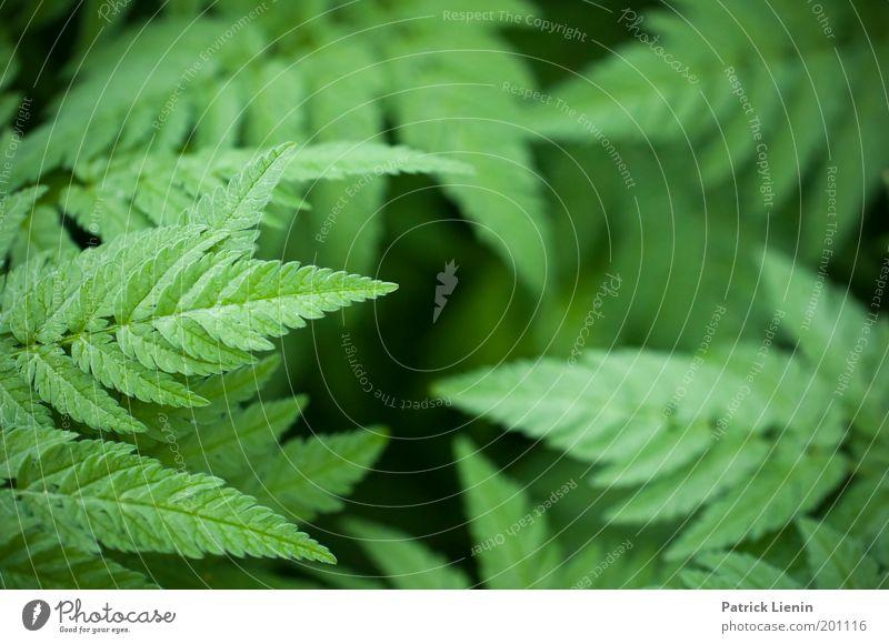 Blätterwald Natur schön grün ruhig Blatt dunkel Spitze Botanik sanft Farn bedeckt beruhigend