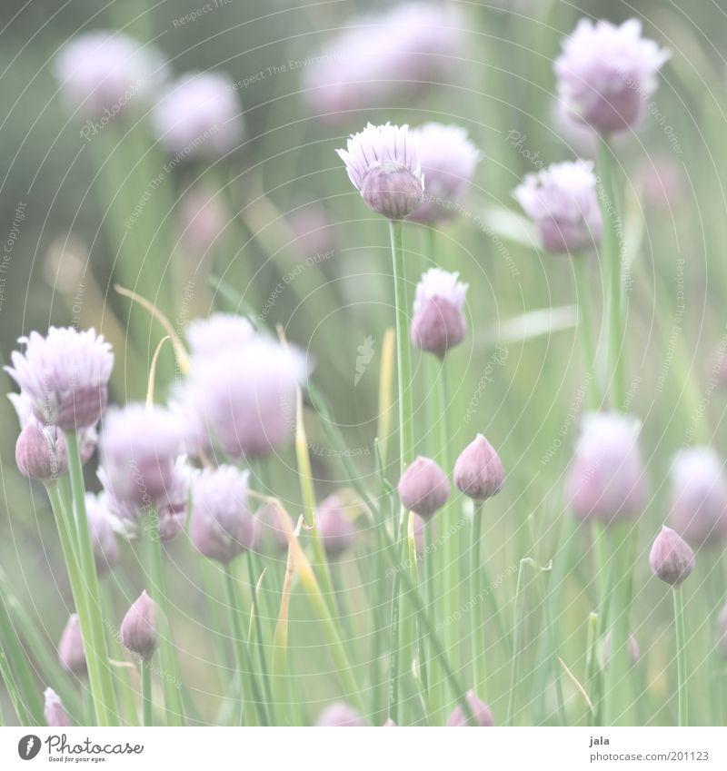 im kräutergarten Lebensmittel Kräuter & Gewürze Ernährung Pflanze Blume Nutzpflanze hell Gesundheit Heilpflanzen Schnittlauch Farbfoto Gedeckte Farben