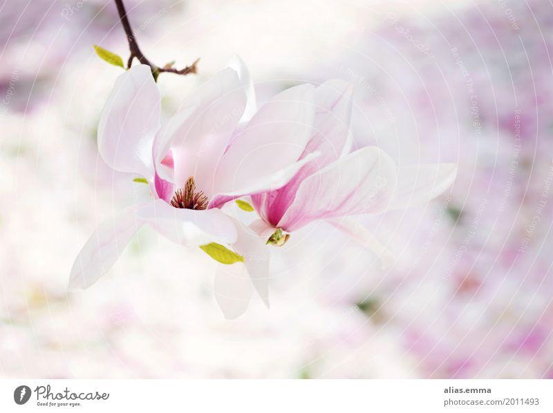 Magnolia Magnoliengewächse Magnolienblüte Magnolienbaum Baum Blüte Frühling weiß rosa Garten Blühend Blume zart Blatt Außenaufnahme frisch hell Freundlichkeit
