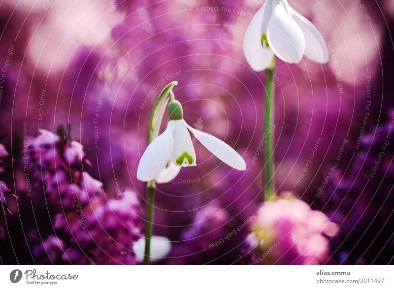 Pinkes Glöckchen Schneeglöckchen Blume Frühblüher Frühling Natur Garten rosa Bergheide Unschärfe schön natürlich zierlich weiß Blüte violett Außenaufnahme