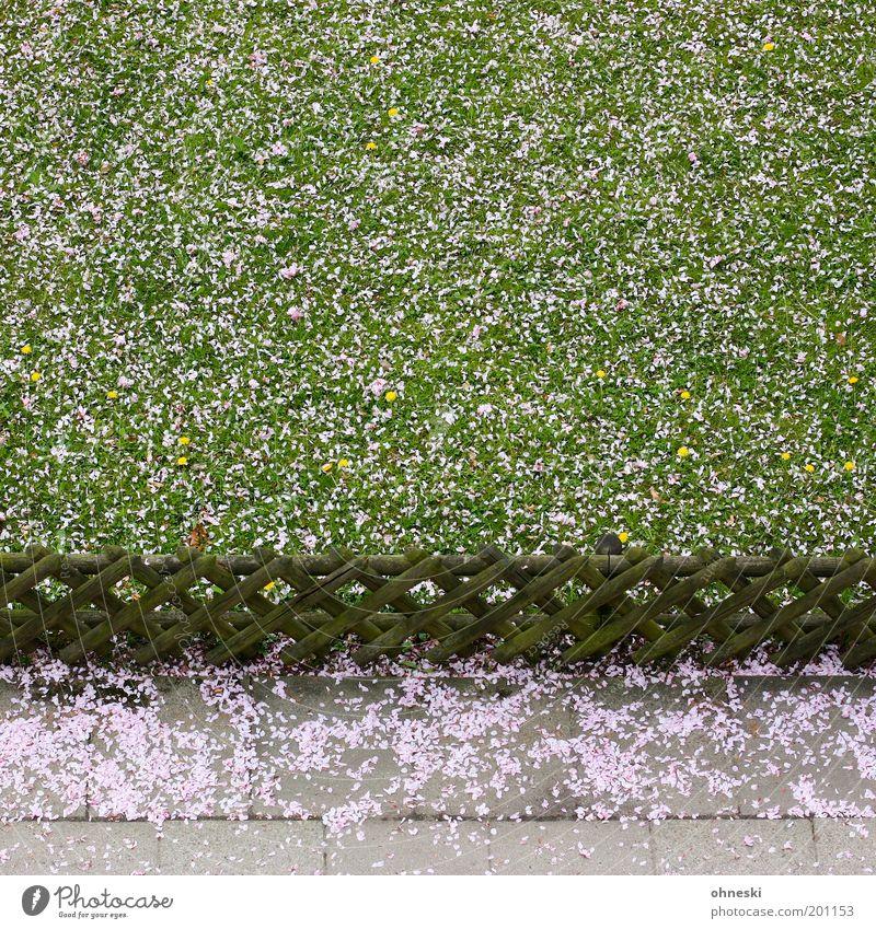 Niederschlag Umwelt Natur Pflanze Frühling Gras Blüte Kirschblüten Garten Wiese Zaun Wege & Pfade Bürgersteig rosa Freude Glück Lebensfreude Frühlingsgefühle