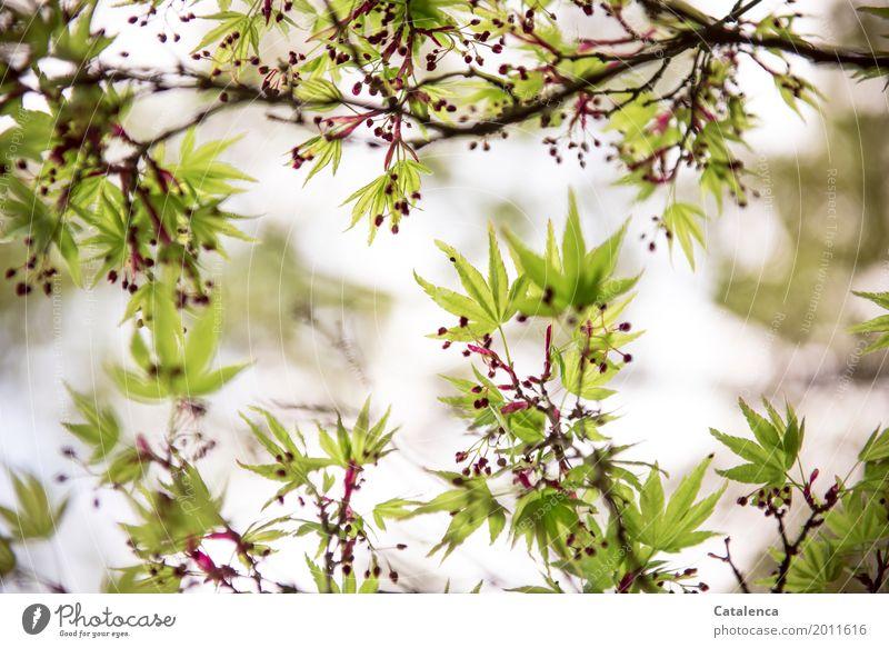 Frühlings Erwachen Natur Pflanze Himmel Baum Blatt Ahorn Zweige u. Äste Garten Park Bewegung verblüht Wachstum ästhetisch elegant braun grün rosa rot Stimmung