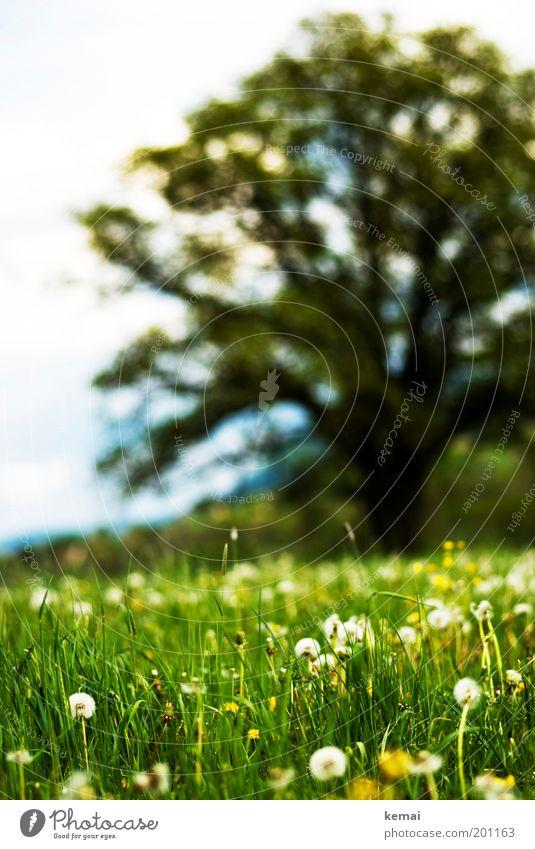 Pusteblumenwiese mit Baum Natur weiß Sonne Blume grün Pflanze Sommer gelb Wiese Blüte Gras Frühling Glück Wärme Landschaft