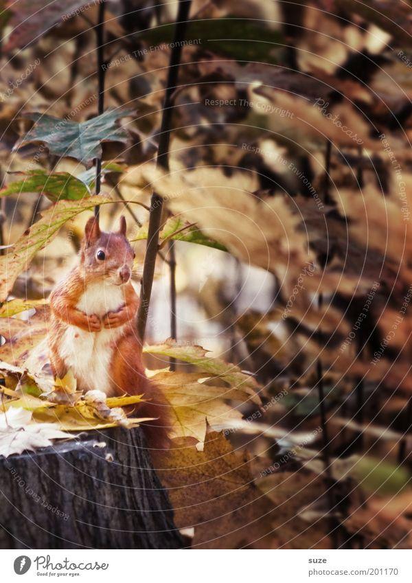 Stammbesetzung Natur schön Baum Pflanze Blatt Tier Umwelt Herbst Wildtier sitzen niedlich beobachten Wachsamkeit Herbstlaub Pfote Eichhörnchen