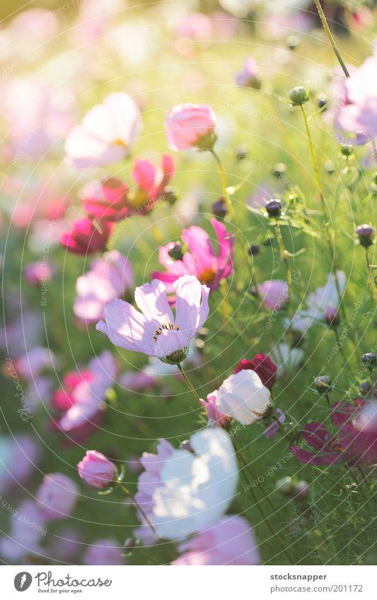 Sommerblumen Blume Abend Licht Sonnenlicht Garten Blumenbeet