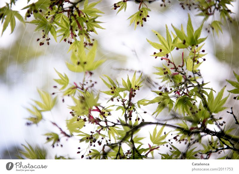 Frühlings Erwachen IV Natur Pflanze Himmel Baum Blatt Ahorn Ahornzweig Ahornsamen Garten Park Wachstum ästhetisch braun grau grün rosa rot Stimmung