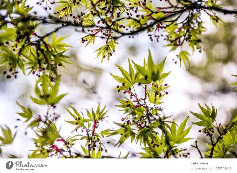 Frühlings Erwachen II Natur Pflanze Himmel Baum Blatt Ahorn Garten Park Blühend hängen Wachstum ästhetisch elegant braun grün violett rosa Stimmung