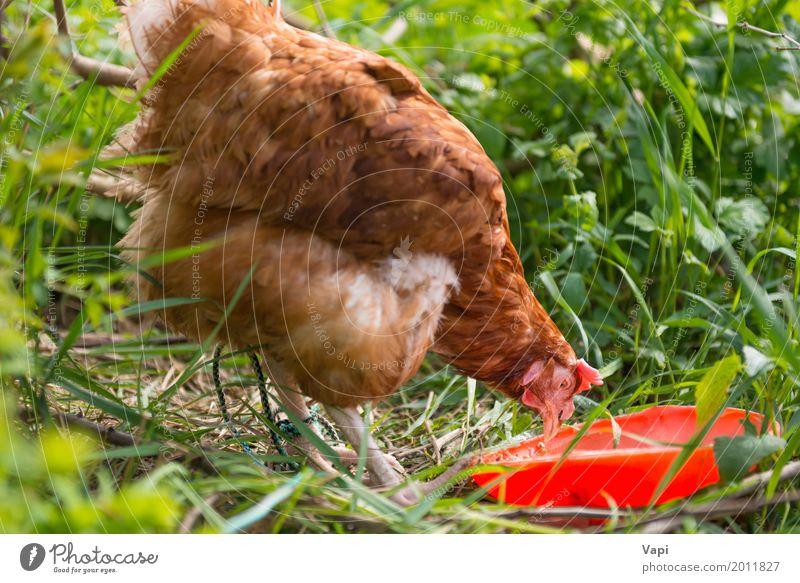Orange Hühnerhühnerfütterung Lebensmittel Fleisch Essen Schalen & Schüsseln Sommer Natur Pflanze Tier Sonnenlicht Gras Garten Haustier Nutztier Vogel Flügel 1