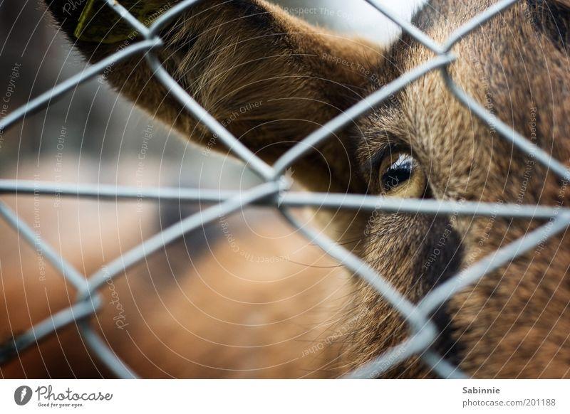 I C U Tier Auge braun Ohr Tiergesicht Fell Haustier selbstbewußt Nutztier Gehege Ziegen Unschärfe Maschendrahtzaun Streichelzoo Ziegenfell