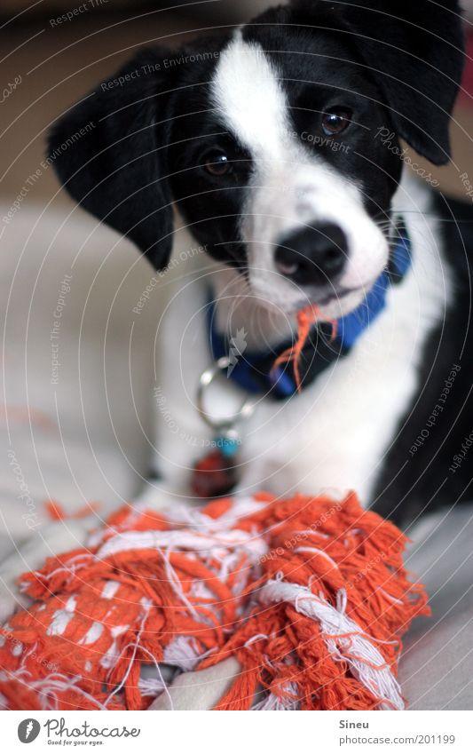 Wer, ich??? Spielen Tier Haustier Hund Tiergesicht 1 Tierjunges schön listig lustig klug verrückt schwarz weiß Freude Leben Welpe Zerreißen Fussel Maul orange