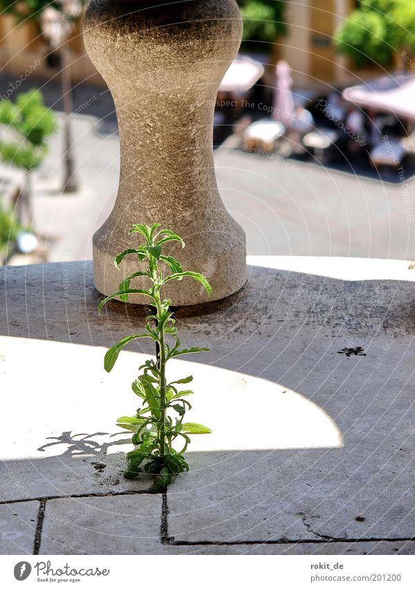 Die kleinste Ritze reicht Pflanze Stein Fassade Wachstum Kirche stark Denkmal Balkon genießen Wahrzeichen Geländer Furche aufsteigen Willensstärke Kathedrale Trieb