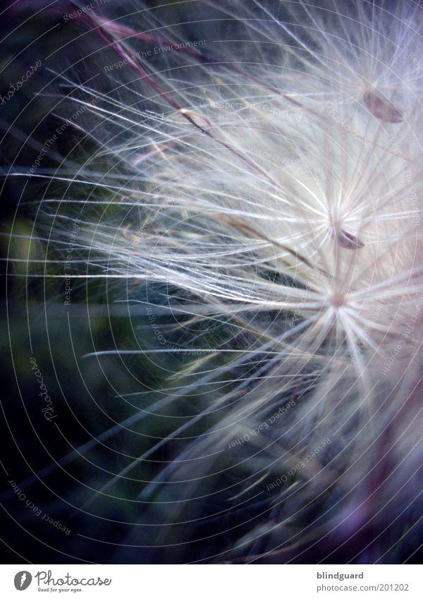 Riding On The Wind Natur schön weiß Pflanze Sommer schwarz klein Wachstum weich zart natürlich Löwenzahn Samen Biologie Fallschirm filigran