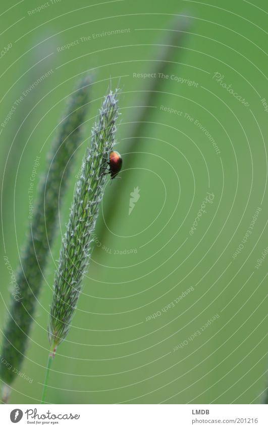 Kleiner Krabbler Natur grün Pflanze ruhig Einsamkeit Tier Gras klein Klettern Insekt abwärts Käfer einzeln Grünpflanze Farbverlauf schillernd