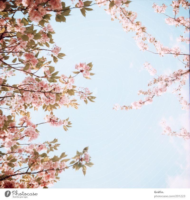 Spring's here Natur Pflanze Luft Himmel Sonne Schönes Wetter Baum Blüte Park Blühend leuchten Duft hell Kitsch natürlich blau rosa ruhig Erholung Idylle Umwelt