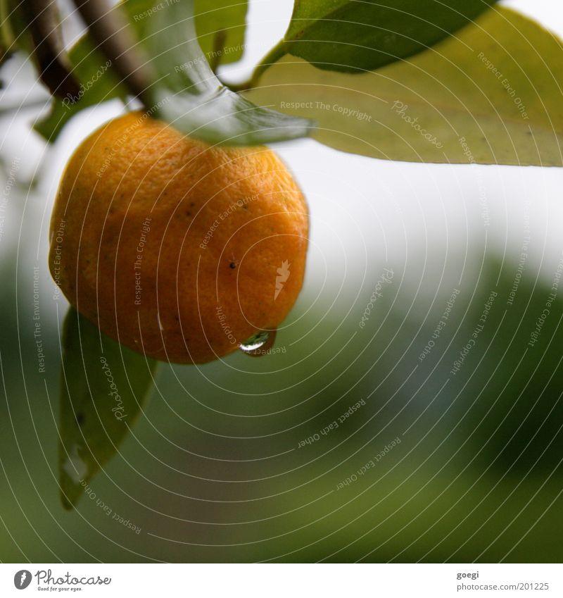 zitrusfrisch Natur Wasser Baum grün Pflanze Blatt gelb Orange orange Gesundheit Wassertropfen Frucht Ast natürlich hängen fruchtig