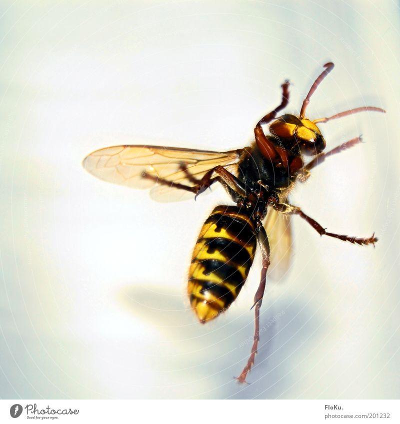"""""""wie groß kann die schon... HOLY SHIT!"""" weiß schwarz Tier gelb Beine Angst gefährlich nah bedrohlich Flügel Insekt wild gruselig Wildtier Mensch"""