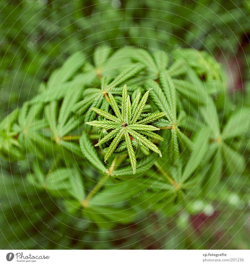 Symmetrie Baum grün Pflanze Frühling Garten Stern (Symbol) Wachstum Vergänglichkeit Schönes Wetter Gartenarbeit Kastanienbaum Kastanienblatt