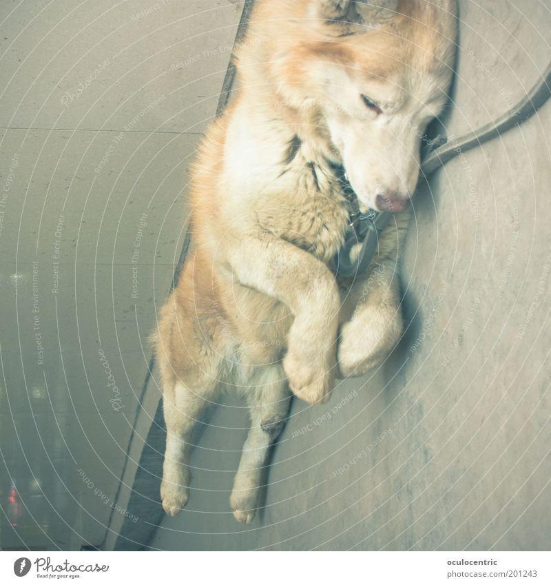 In China essen sie Hunde schön alt Tier gelb Farbe Hund blond schlafen liegen Asphalt Sehnsucht Fell gefangen Pfote Fernweh Frustration
