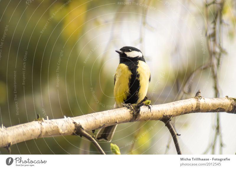 Meise auf einem Birkenzweig Natur grün weiß Sonne Baum Tier schwarz Umwelt gelb natürlich Vogel fliegen orange leuchten Wildtier sitzen
