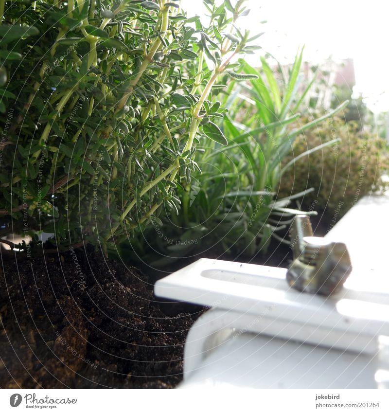 Draußen am Balkon grün weiß Pflanze Sonne Garten Metall Wachstum festhalten Kräuter & Gewürze Schönes Wetter Schraube Gartenarbeit Lavendel Grünpflanze