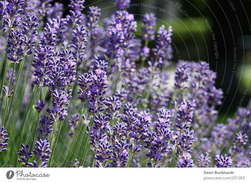 Ein Hauch von Lavendel liegt in der Luft Natur grün Pflanze Sommer ruhig Erholung Blüte Garten Zufriedenheit Umwelt violett Vergänglichkeit Blühend Duft Geruch
