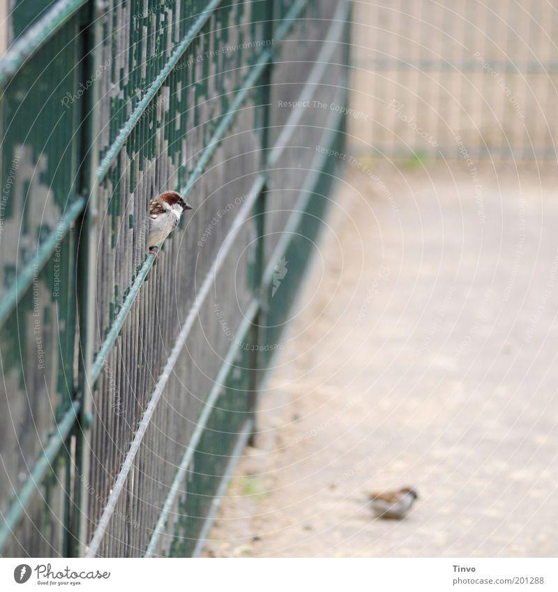 Zaungast Vogel 2 Tier beobachten sitzen grün achtsam abblättern eingezäunt Spatz ausruhend Gitter alt Nahrungssuche Blick Gehege Neugier Farbfoto