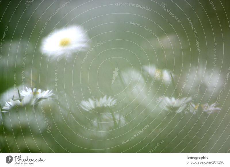 Bellis perennis Natur Blume Pflanze Sommer gelb Wiese Blüte Gras Frühling Garten Nebel geheimnisvoll Blühend Gänseblümchen abstrakt Margerite