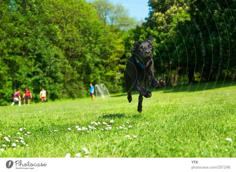 Dexter der Fußballstar Natur grün Baum Hund Pflanze Freude Tier schwarz Wiese Leben Umwelt Spielen Bewegung Gras springen Park